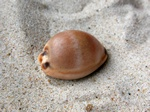 Cypraea lurida photo