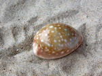 Cypraea vitellus photo