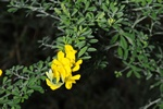 Cytisus microphyllus photo