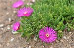 Delosperma ecklonis photo