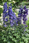 Delphinium cultorum photo