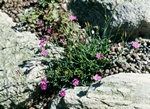 Dianthus myrtinervius photo