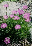 Dianthus neglectus photo
