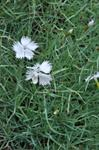 Dianthus pyrenaicus photo