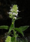 Echium strictum photo