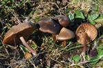 Entoloma vernum photo