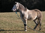 Equus caballus (Skimmel) photo