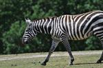 Equus quagga borensis photo