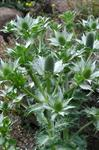 Eryngium alpinum photo