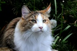 Felis catus (Maine Coon) photo
