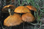 Gymnopilus spectabilis photo