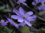 Hepatica transsilvanica photo