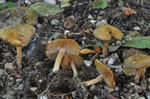 Inocybe hirtella photo