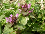 Lamium purpureum var. purpureum photo