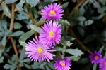 Lampranthus deltoides photo
