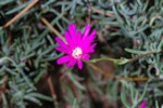 Lampranthus zeyheri photo