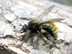 Laphria flava photo