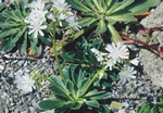 Lewisia cotyledon photo