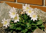 Lewisia tweedyi photo