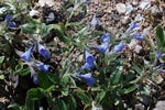 Lithodora oleifolia photo