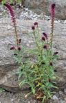 Lysimachia atropurpurea photo