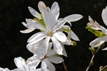 Magnolia stellata photo