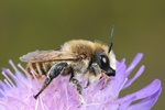 Megachile lagopoda photo