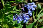 Mertensia virginica photo