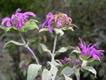 Monarda fistulosa photo