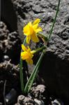 Narcissus calcicola photo