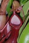 Nepenthes x photo