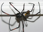 Nephila senegalensis photo