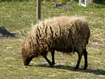 Ovis aries (Ouessant) photo