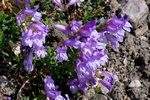 Penstemon cardwellii photo
