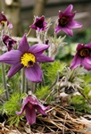 Pulsatilla halleri photo
