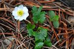 Ranunculus alpestris photo