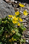 Ranunculus creticus photo