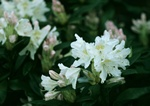 Rhododendron (Cunninghams white) photo