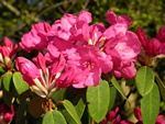 Rhododendron (Gartendirector Glocker) photo