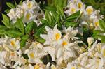 Rhododendron (Persil) photo