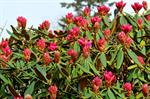 Rhododendron degronianum photo