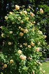 Rosa (Alchymist) photo