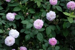 Rosa sp (Flore pleno) photo