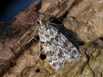 Scoparia ambigualis photo