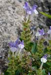 Scutellaria alpina photo