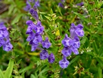 Scutellaria baicalensis photo
