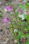 Scutellaria pontica photo