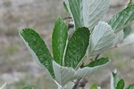 Sorbus rupicola photo
