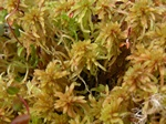 Sphagnum sp. photo