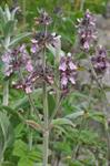 Stachys cretica photo